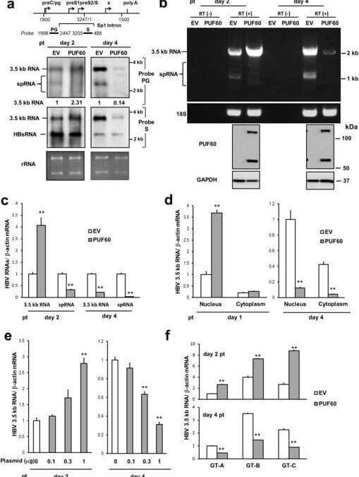 Involvement of PUF60 in Transcriptional and Post-transcriptional Regulation of Hepatitis B Virus Pregenomic RNA Expression