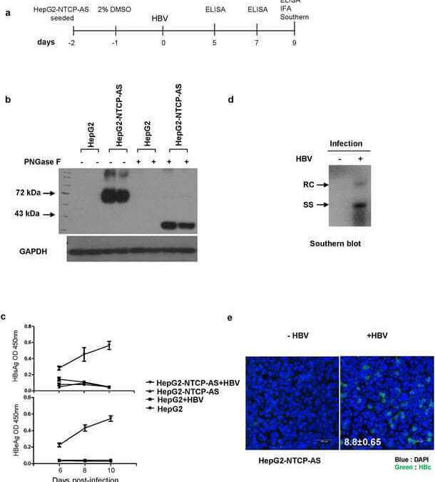 Heparin at physiological concentration can enhance PEG-free in vitro infection with human hepatitis B virus