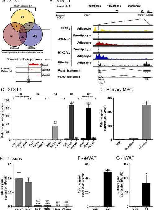 The RBM14/CoAA-interacting, long intergenic non-coding RNA Paral1 regulates adipogenesis and coactivates the nuclear receptor PPARγ
